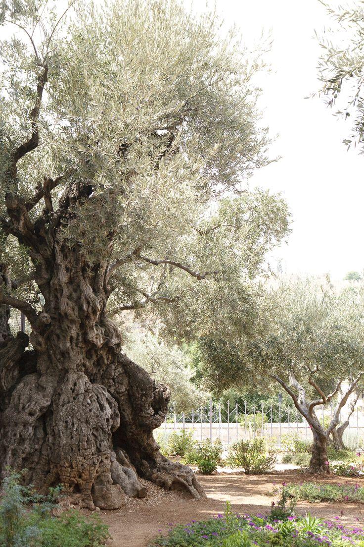Old Olive Tree in The Garden of Gethsemane, Israel