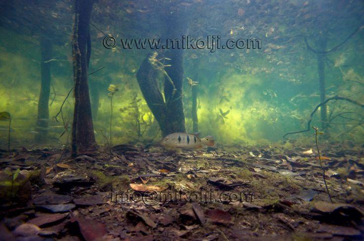 underwater forest   amazon, amazon river, reflection, underwater reflection, reflections ...