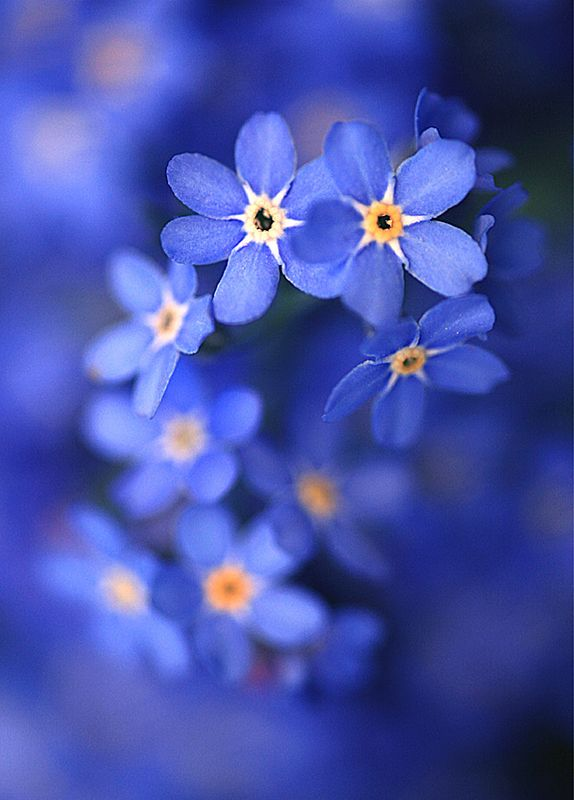 Forget-me-not flowers - perfect. cause i've always said i want blue flowers and my funeral. how fitting that these are called forget me nots.