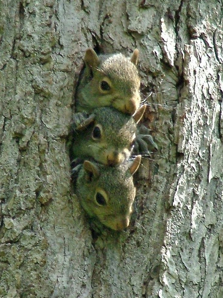 Triple squirrel