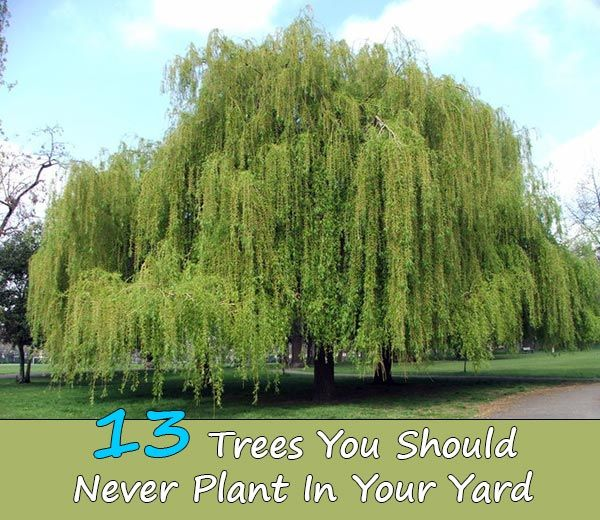 13 trees you should never plant