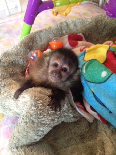 capuchin, spider, marmoset, squirrel monkey & Kinkajou babies for sale - Downers Grove Classifieds