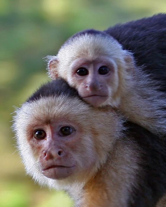 Capuchin Monkeys....I know them well!