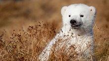 SikuSiku, Polar Bear Cubs, Parks, Polarbear, Baby Polar Bears, Baby Bears, Polar Bears Cubs, Beautiful Creatures, Animal