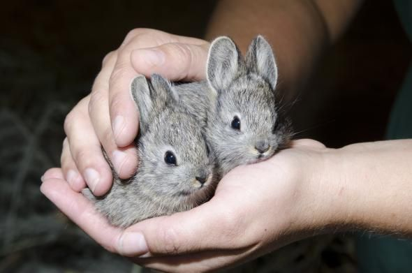 Columbia Basin pygmy rabbits - tiniest bunnies that are endangered.