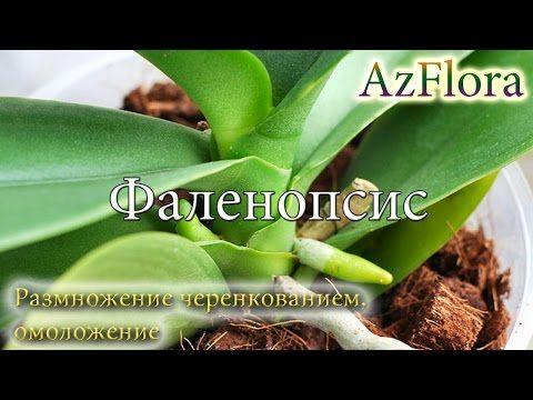 Размножаем фаленопсис черенкованием, проводим омоложение - YouTube