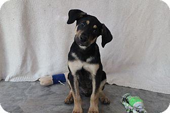 Monroe, NC - Labrador Retriever/German Shepherd Dog Mix. Meet Clyde, a puppy for adoption. http://www.adoptapet.com/pet/15570810-monroe-north-carolina-labrador-retriever-mix