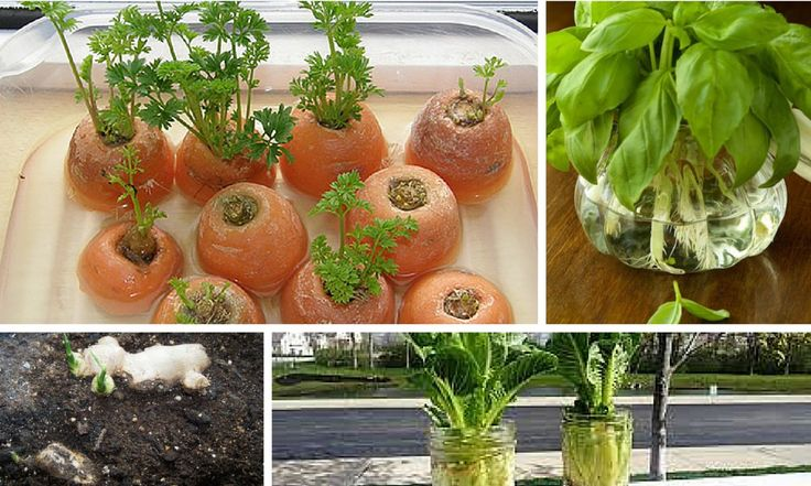 Faire pousser des légumes à partir de graine c'est bien, mais les faire pousser à partir des restes de votre cuisine c'est encore mieux !