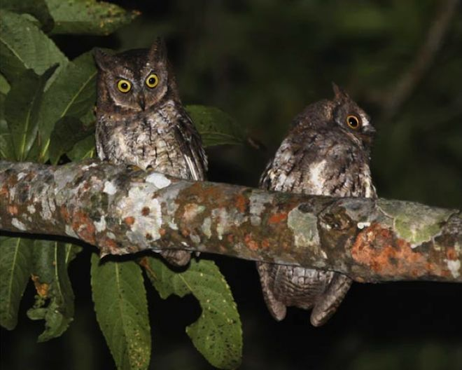 Spooky Nighttime Whistle Reveals New Owl Species | Wired Science | Wired.com. Otus jolandae, the Rinjani scops owl, only lives on Lombok island. Photo: Philippe Verbelen.