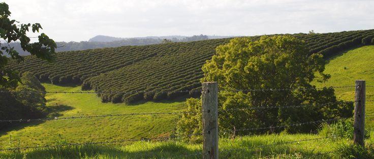 Australian Subtropical Coffee Association