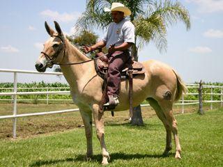 """""""Ramona"""". Raza:Mula.  Sexo:Hembra. Línea: De Silla. Año de nacimiento: 2004. Color: Bayo. Cortesía de """"Los Garañones, Caballos Sementales"""", Guadalajara, Jalisco (México)."""