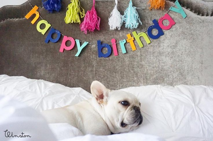 """""""It's my party and I can sleep if I want to!""""  Your pet is a part of the family. And that means that your pet celebrates every holiday with you! So it just makes sense to celebrate their birthdays and/or adoption days. The more parties, the better. Everyone loves to enjoy their special day.  Photo by @3frenchiesinapod"""