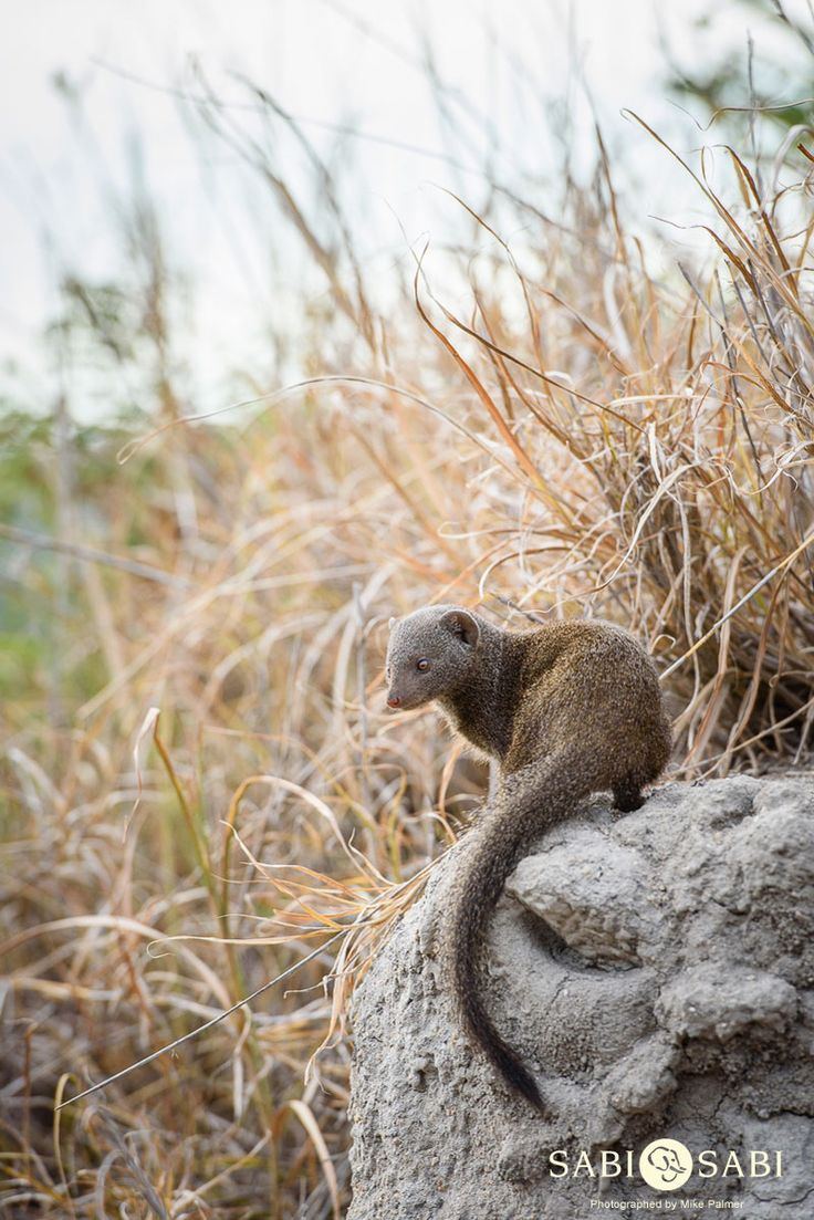 Dwarf mongooses are always a source of much entertainment due to their inquisitive #nature.