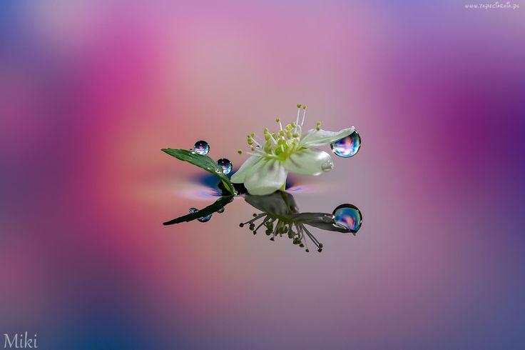 Kwiat, Krople, Odbicie, Makro