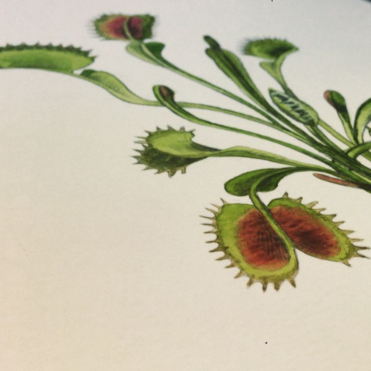 Venus Fly Trap illustration. Georgina Taylor