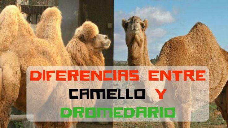 Diferencias entre camello y dromedario #curiosidades #camello #dromedario @curiosfera