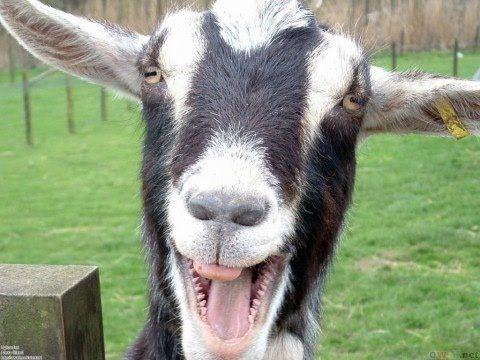Goat Trippin' - http://modernfarmer.com/2014/12/goat-trippin/?utm_source=PN&utm_medium=Pinterest&utm_campaign=SNAP%2Bfrom%2BModern+Farmer