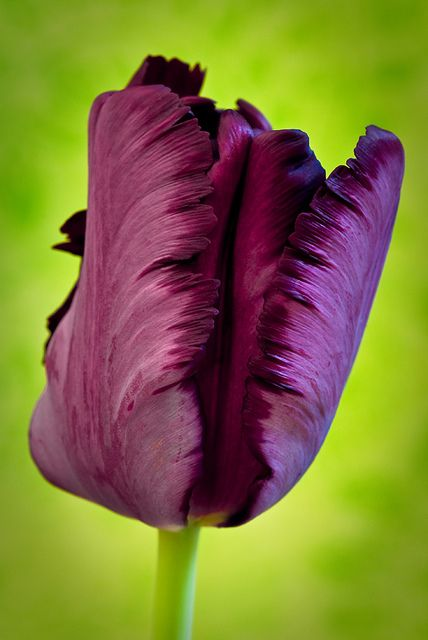 Purple parrot tulip