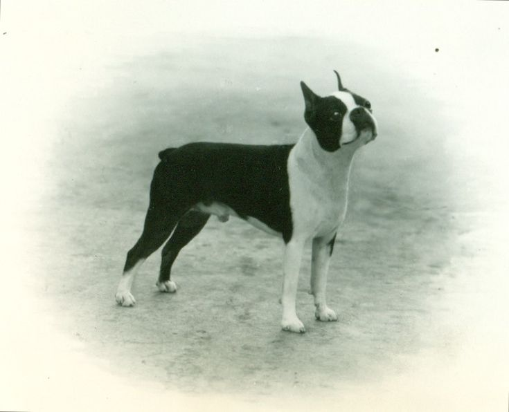 Boston Terrier facts including: history, training/temperament, and breed colors and markings.