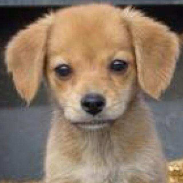 Pomeranian Beagle mix puppy | Cute animals :) | Pinterest | Beagle Mix ...