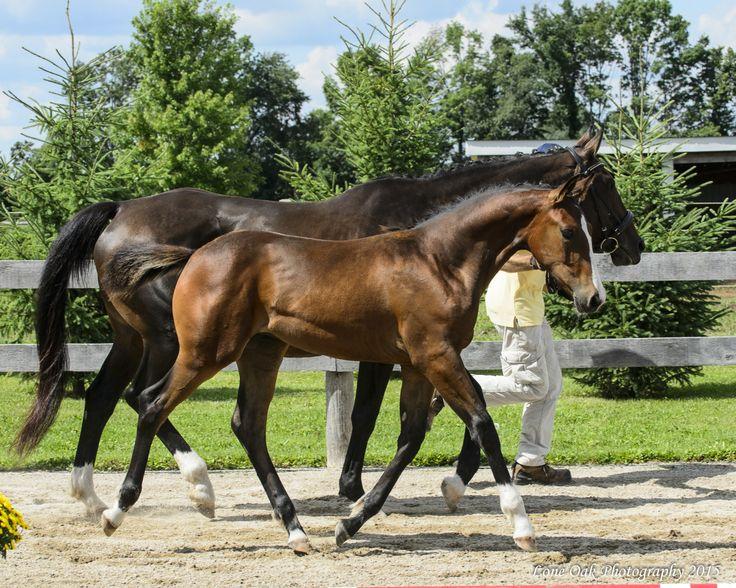 Hanoverian Horses - Breeding - Sales