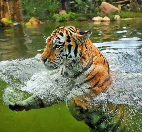 Tigers love taking baths to help them cool off during the hottest parts of the day.