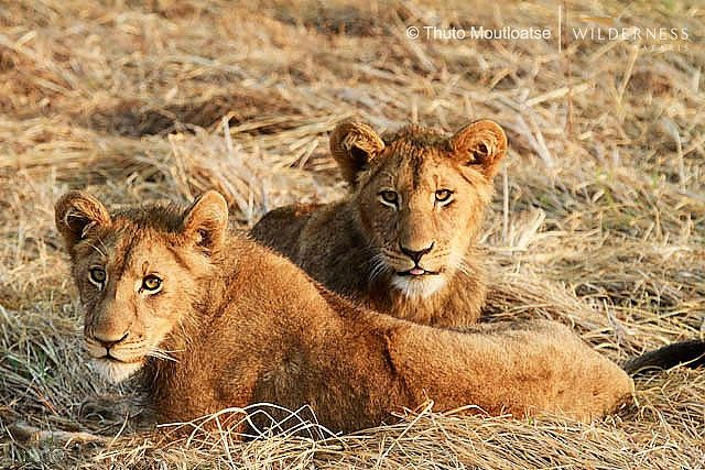 Lion cubs at Shumba (which means lion) #KafueNP #Zambia