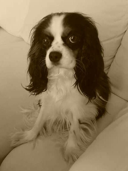 King Charles Spaniel -Bella :)