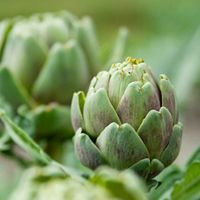 Moestuinwebshop.nl | Artisjokken zaden kopen, zaaien, telen, kweken, planten, bemesten en oogsten