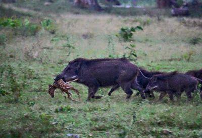 GREAT HUNTING: Černá zvěř je predátor dnešní krajiny. Všežravec a...