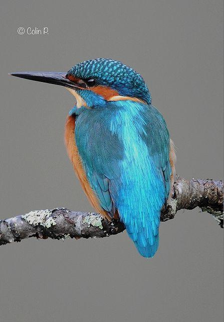 Kingfisher (Alcedo atthis). Amber Status