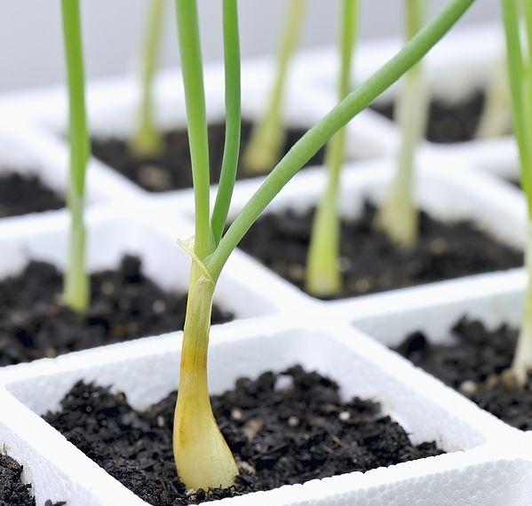 Φρούτα και Λαχανικά που τα φυτεύετε μια φορά και σας δίνουν καρπούς κάθε χρόνο