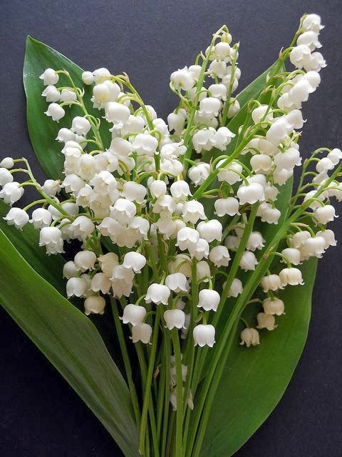 Lily of the Valley - my favorite flower. I have some wonderful memories with my beloved Grannie and her patch of Lily of the Valley flowers #flowers