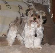 I've had my Jasper for 5 years now and he has been the best companion. I'm a shut-in and needed a small dog I could pick up. Shorkie tzu is the best small breed dog out there.