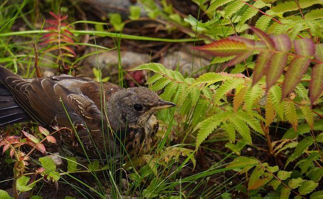 Nuori lintu aamutuimaan.