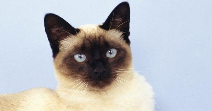 Cómo criar un gato siamés . Los gatos siameses (o Meezers, como se les apodaron cariñosamente) son algunos de los animales más bellos, más fieles y más inteligentes jamás encontrados. Pero también tienden a ser muy activos, vocales, de carácter fuerte, tercos y de alto mantenimiento. Una vez que tengas uno, verás lo fácil que es enamorarse de estas magníficas criaturas.