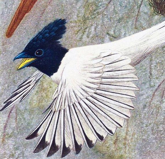 Oiseaux Planche Originale Ancienne Couleur 50's Gobe Mouche de Paradis Oiseaux de Paradis Exotiques Illustration Antiquité déco à encadrer