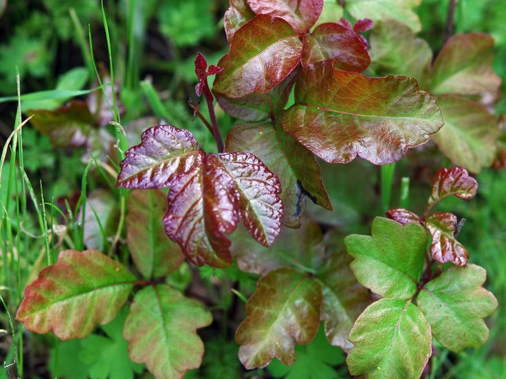 Here's what to do if you develop the red, itchy rash and blisters that poison ivy, poison oak, and poison sumac can cause.