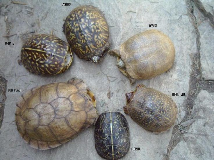 What you should know about Eastern Box Turtles: Terrapene carolina carolina