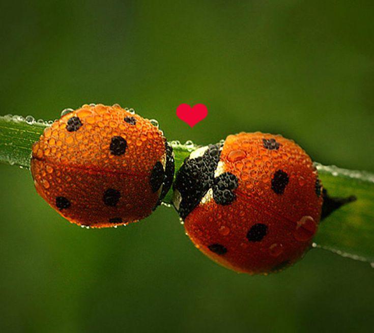 Image detail for -Love,affection,heart,purity,romantic,ladybug,ladybugs,leaf,