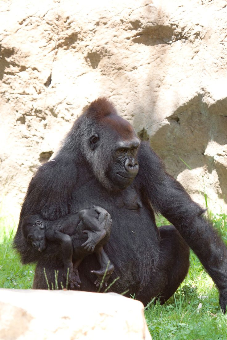 In the San Diego zoo there are currently six western lowland gorillas. The silverback gorilla that is the natural leader of a group is taking special care to keep Kokamo and the baby separated and protected from the rest of the group.