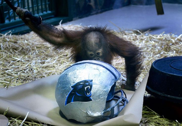 Tuah, an Orangutan at Utah's Hogle Zoo, picks the Carolina Panthers over the Denver Broncos as winners of Sunday's Super Bowl, Thursday, Feb. 4, 2016, in Salt Lake City. Tuah is the son of an orangutan named Eli who picked seven straight winners of the big game before he died in 2015 at age 24 from complications of breast cancer. (Scott