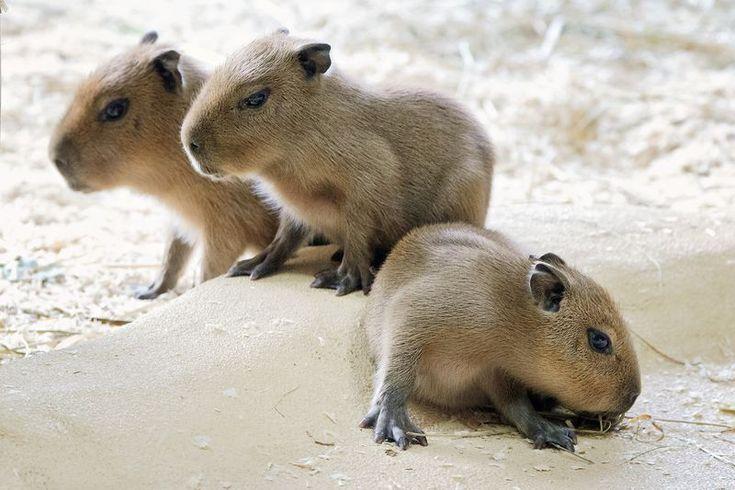 Capybara pups at the Schonbrunn Zoo