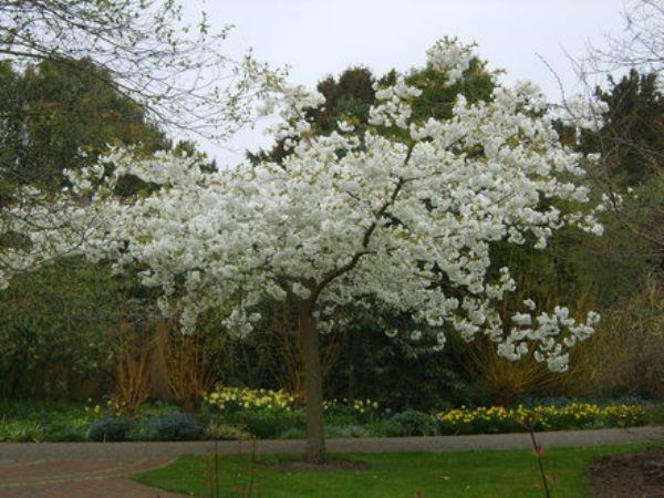 Great White Flowering Cherry Trees For Sale Online View Now Flowering Cherry Tree Cherry Trees Garden Screen Plants