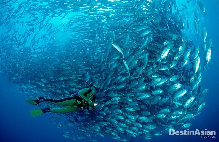 Pulau Sipadan melejit sebagai salah satu spot menyelam terbaik. Jika beruntung, penyelam bisa menemukan kawanan big-eye travelly di bawah laut Sipadan. (Foto: Getty Images)