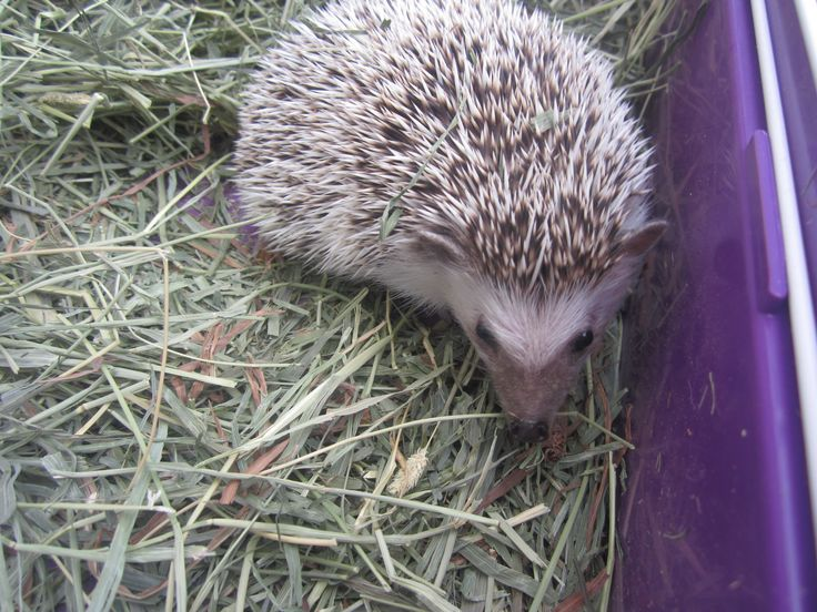 The most common species of domesticated hedgehog is the African pygmy hedgehog, a hybrid of the white-bellied or four-toed hedgehog (Atelerix albiventris) and the Algerian hedgehog (A. algirus). It is smaller than the European hedgehog, and thus is sometimes called African pygmy hedgehog. Other species kept as pets are the Egyptian long-eared hedgehog (Hemiechinus auritus auritus) and the Indian long-eared hedgehog (Hemiechinus collaris).