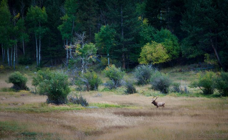https://flic.kr/p/aBEUJX | Lone Bull Elk | This lonely guy is out searching for a harem during the rutting season. Or more accurately, he is looking to steal a harem of cows from another bull Elk. It is quite the show between two bull Elk during Sept-Nov's rutting season in RMNP.   What is even more entertaining is watching the people line the roads in the early evening.  Securing prime spots with their lawn chairs, snacks and binoculars; all so they can get their fill of a bit of Elk Porn…