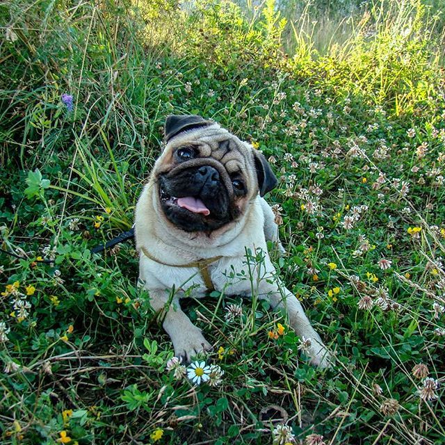 #pug #pugs #mops #dog #flowers #summer #green #grass #puppy