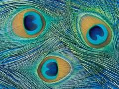 Bilderesultat for påfugler