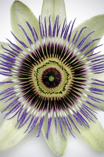 Passion flower - so pretty